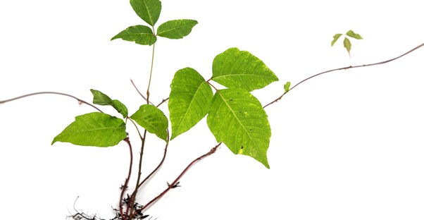 urushiol oil is the reason why poison ivy is itchy