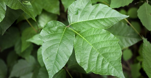 a poison ivy leaf that can cause a systemic poison ivy reaction