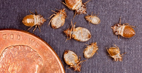 Bed Bugs: All You Need to Know in 5 Photos main image